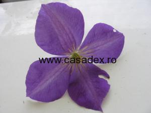 floare clematita