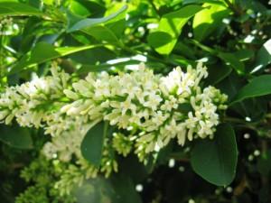 floare lemn cainesc gard viu