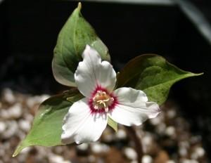 floare trillium culoare alba trezirea macaleandrului