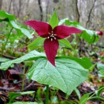 floare trillium grena