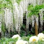 flori albe de glicina