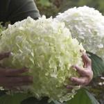 Hortensia Annabelle (Hydrangea arborescens Annabelle)