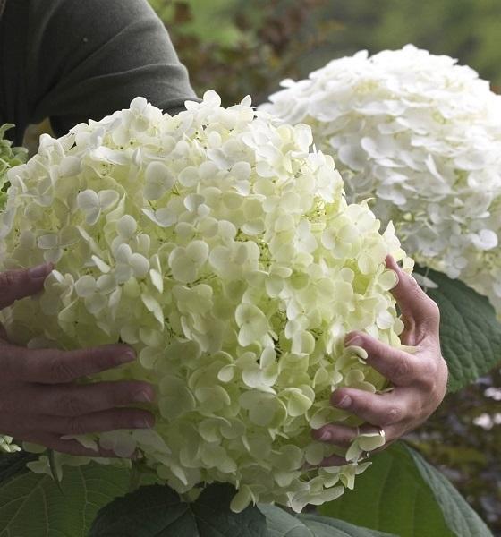 flori de hortensie alba Strong Annabelle