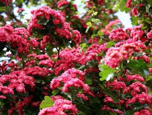 flori paducel