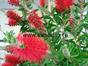Callistemon citrinus, arbust ornamental cu flori rosii