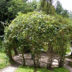 foisor cupola din salcii plantate in cerc