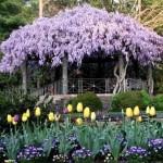 foisor imbracat in wisteria sau glicina inflorita