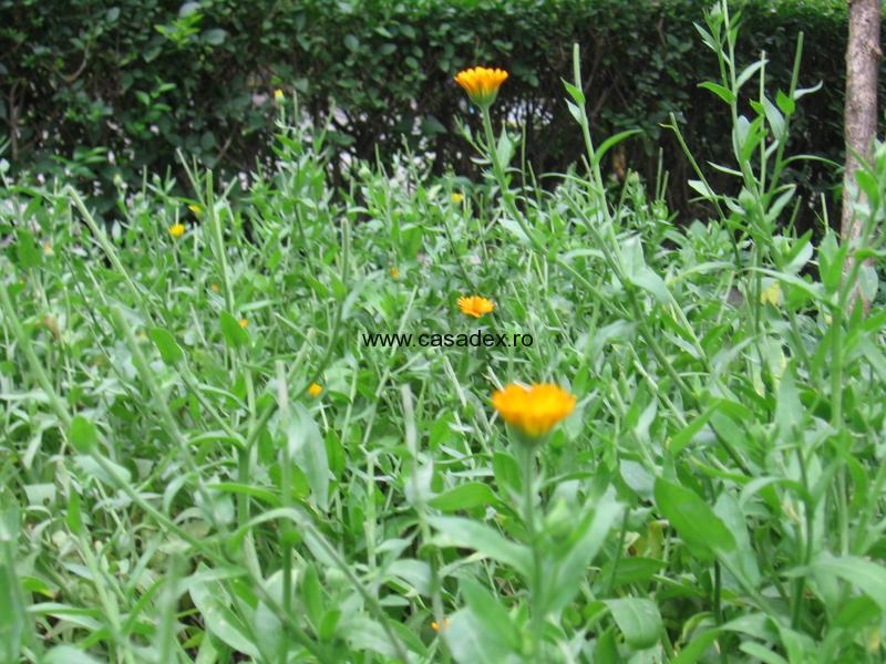 Galbenelele – plante ornamentale, dar si medicinale