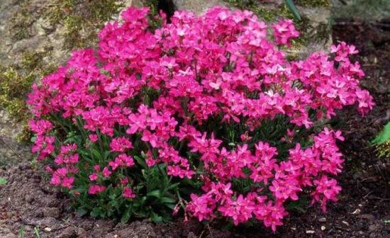 gascarita roz