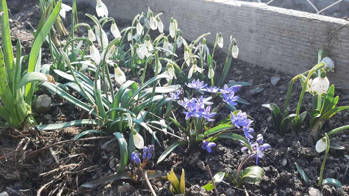 ghiocei-albastrele-flori-primavara