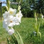 gladiola alba