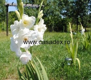 Gladiole de gradina