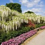 glicina alba inflorita parcul de flori ashikaga japonia