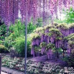 glicina inflorita parcul national tokyo japonia