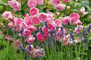 gradina cu trandafiri si lavanda sau levantica