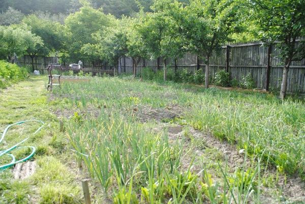 gradina legume ceapa