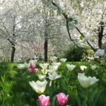 gradina primavara cu lalele roz si pomi infloriti