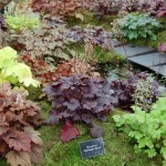 Heuchera – un mix inedit de culoare