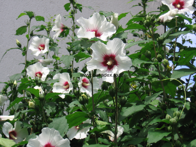 Hibiscus, arbust ornamental ce infloreste toata vara