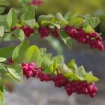 Cum sa cultivi hurmuz rosu in propria gradina