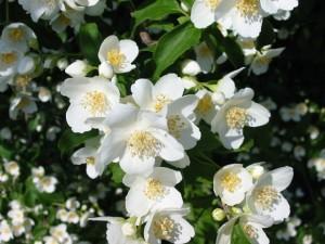 iasomie arbust decorativ