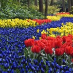 idei aranjament flori de primavara in gradina din zambile struguras lalele rosii si narcise galbene