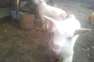 ieduti capra