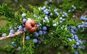 ienupar arbust ornamental