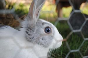 Ajutor: Crestere iepuri de casa