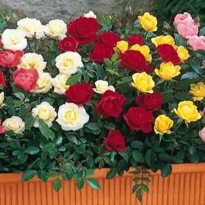 jardiniera cu mix de trandafiri pitici