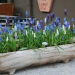jardiniera din lemn cu zambile struguras decor de primavara pentru gradina sau balcon
