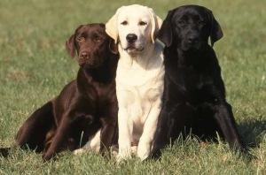 Labradorul, excelent caine de companie