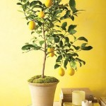 Lamaiul de apartament (Citrus limon) – arbust ornamental si fructifer