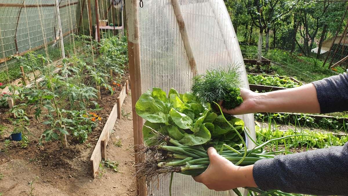 legume gradina si solar iunie