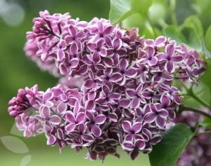 lilac syringa vulgaris