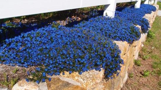 lithodora diffusa heavenly blue