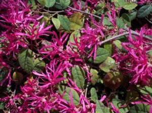 loropetalum arbust ornamental mereu verde