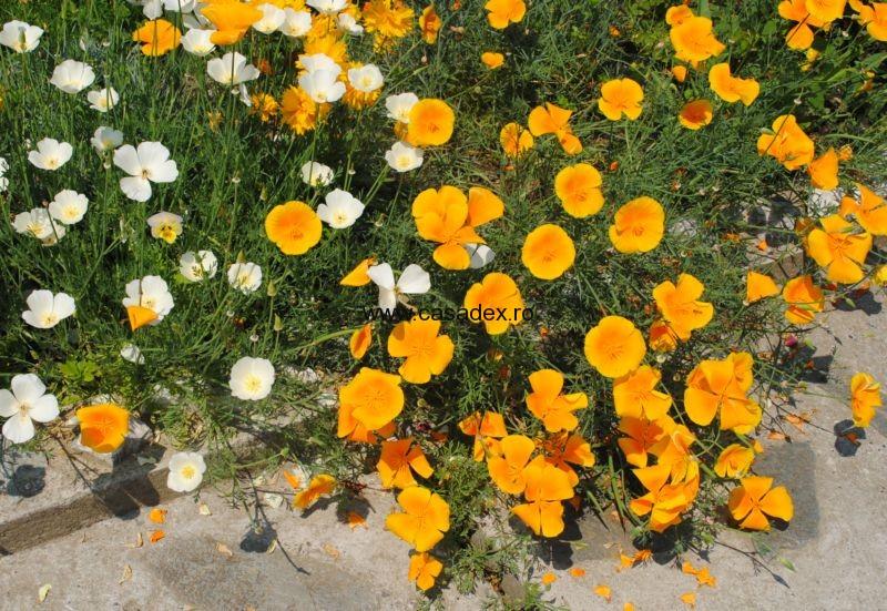 Macul californian sau Eschscholzia californica