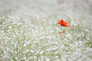 mac rosu intr-un camp de gypsophila floarea miresei