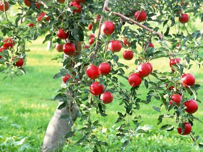mar plin cu fructe pom fructifer