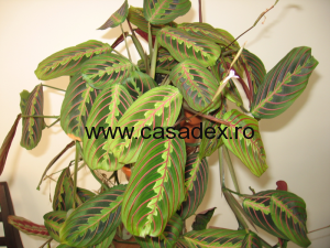 maranta, planta care se roaga