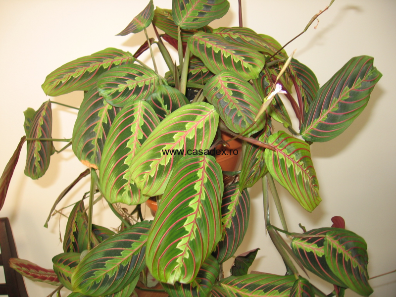 Maranta leuconeura, planta decorativa de interior