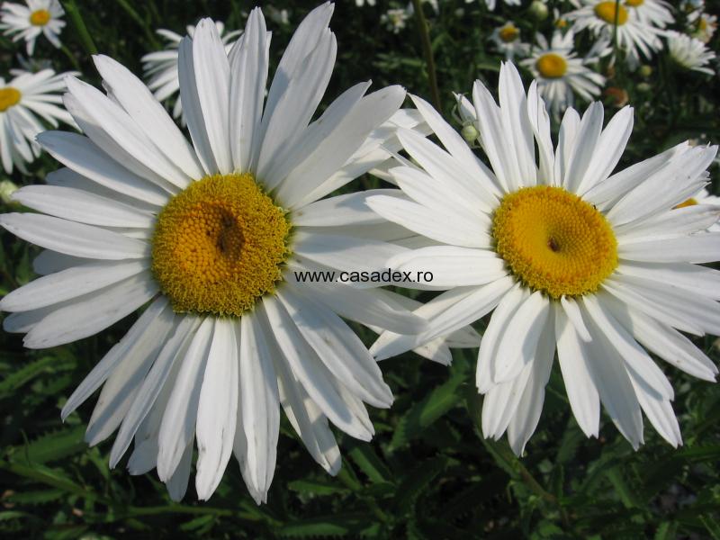 Margaretele, flori de camp si de gradina