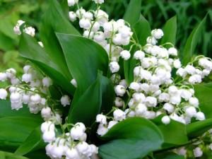 Margaritarul (lacramioara), parfum si delicatete in gradina ta