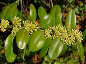 merisor sau cimisir arbust ornamental gard viu