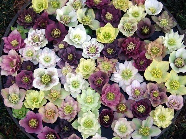 mix de Helleborus Trandafir de iarna floare perena de gradina