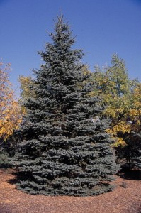 molid picea pungens