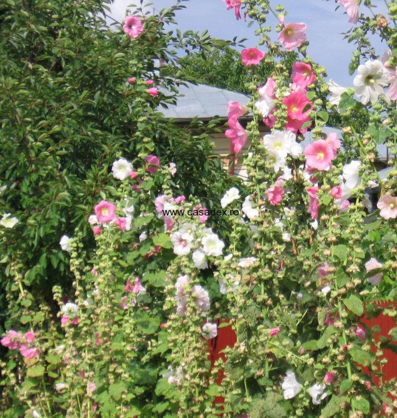Nalba, floare de gradina