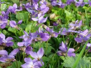 palc de micsunele toporasi sau violete