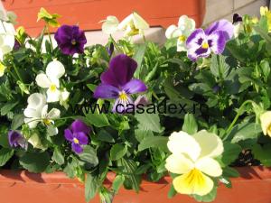 Panselele, flori de gradina